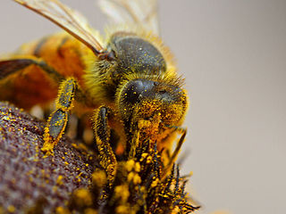 Entomophily Form of pollination by insects