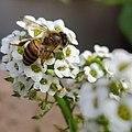 Bee spotted in a garden.jpg