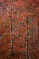 Beech Wood III - Flickr - rachel thecat.jpg