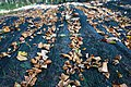 Beech seed collection kz3.JPG