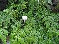 Begonia foliosa var. miniata - Palmengarten Frankfurt - DSC01862.JPG