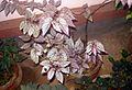 Begonia plant 13.JPG