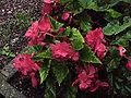 Begonia x tuberhybrida0.jpg