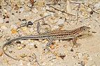 Benny Trapp Acanthodactylus erythrurus.jpg