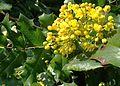 Berberis ilicifolia of the Berberidaceae - Flickr - Dick Culbert.jpg