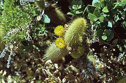 Bergerocactus emoryi1MIBEA