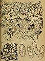 Bericht des Naturwissenschaftlichen Vereins für Schwaben und Neuburg (a.V.) in Augsburg (1906) (20179196849).jpg