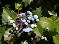 Berriy berries holly plants leaves leaf.jpg