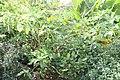 Beschorneria x Decosterina 4zz.jpg