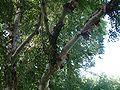 Betula albosinensis var septentrionalis RB3.JPG