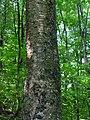 Betula alleghaniensis 1-jgreenlee (5098070840).jpg