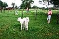 Bezerros gêmeos - panoramio.jpg