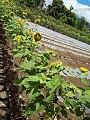 Bicol Strawberry Farm 4.jpg