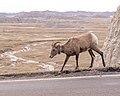 Bighorn Sheep, Badlands National Park 10 11 17 -badlandsnps -southdakota -wildlife (25862194957).jpg