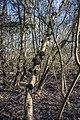 Birch-cancer hg.jpg
