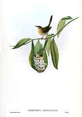 common tailorbird wikipedia