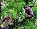 Birds Prešov16Slovakia17.JPG