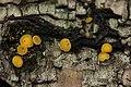 Bisporella sp. - Bisporella citrina? (37513990972).jpg