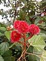 Bixa orellana - Lipstick Tree at Iritty 5.jpg