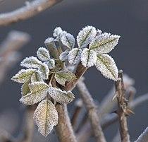 Blätter mit Eis (11400428245).jpg