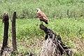 Black-Collared Hawk (Busarellus nigricollis) (5771828215).jpg