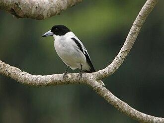 Black-backed butcherbird - Image: Black backed Butcherbird