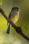 Black-capped Flycatcher - Central Highlands - Costa Rica MG 7063 (26603418092).jpg