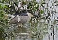 Black-crowned Night Heron (37400355330).jpg