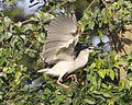 Black-crowned Night Heron (Nycticorax nycticorax) adult, Bogor Botanic Garden, Bogor, Java (2).jpg