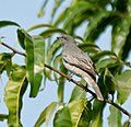 Black-headed Cuckooshrike (Coracina melanoptera) W IMG 5710.jpg