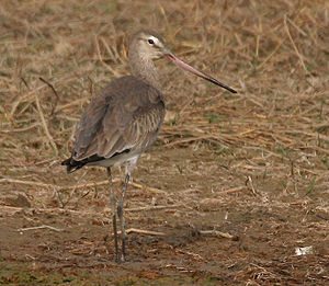 Black-tailed godwit - Winter-plumaged black-tailed godwit, India