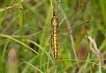 Black-tailed skimmer (Orthetrum cancellatum), Pen-er-Malo, Guidel, Brittany, France (19650605340).jpg