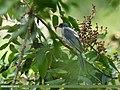 Black Bulbul (Hypsipetes leucocephalus) (39212489265).jpg