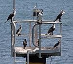 Black and White Cormorants (30439532453).jpg