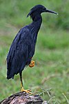 Black heron, Egretta ardesiaca, at Marievale Nature Reserve, Gauteng, South Africa (30128438242).jpg