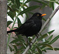 Blackbird in Madrid (Spain) 12.jpg