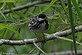 Blackpoll Warbler (male) Sabine Woods TX 2018-04-21 09-53-40 (41971724151).jpg
