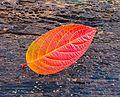 Blad Hydrangea paniculata in de herfstkleur.jpg
