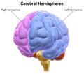 Blausen 0215 CerebralHemispheres.png