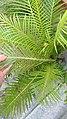 Blechnum gibbum 3.jpg