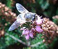 Blue-Fly-Bee (46115959).jpg