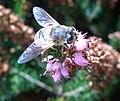 Blue-Fly-Bee (46115959).jpg