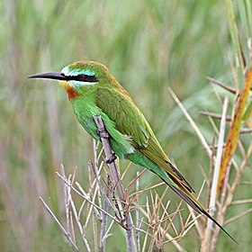 Blue-cheeked bee-eater (Merops persicus persicus) Namibia.jpg