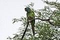 Blue-crowned Parakeet (Thectocercus acuticaudatus) (8077650179).jpg