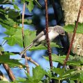 Blue-gray Gnatcatcher (14498712238).jpg