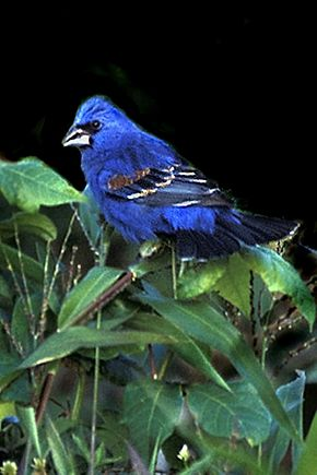 Blue GROSBEAK X.jpg