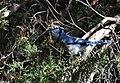 Blue Jay (45208879561).jpg