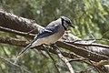 Blue Jay - Hartwick Pines - Michigan FJ0A0365 (34999237526).jpg