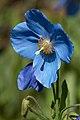 Blue poppy (41496242774).jpg