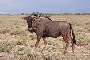 Blue wildebeest (Connochaetes taurinus taurinus) male Namibia.jpg